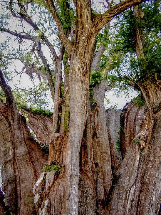 オアハカ トゥーレの木